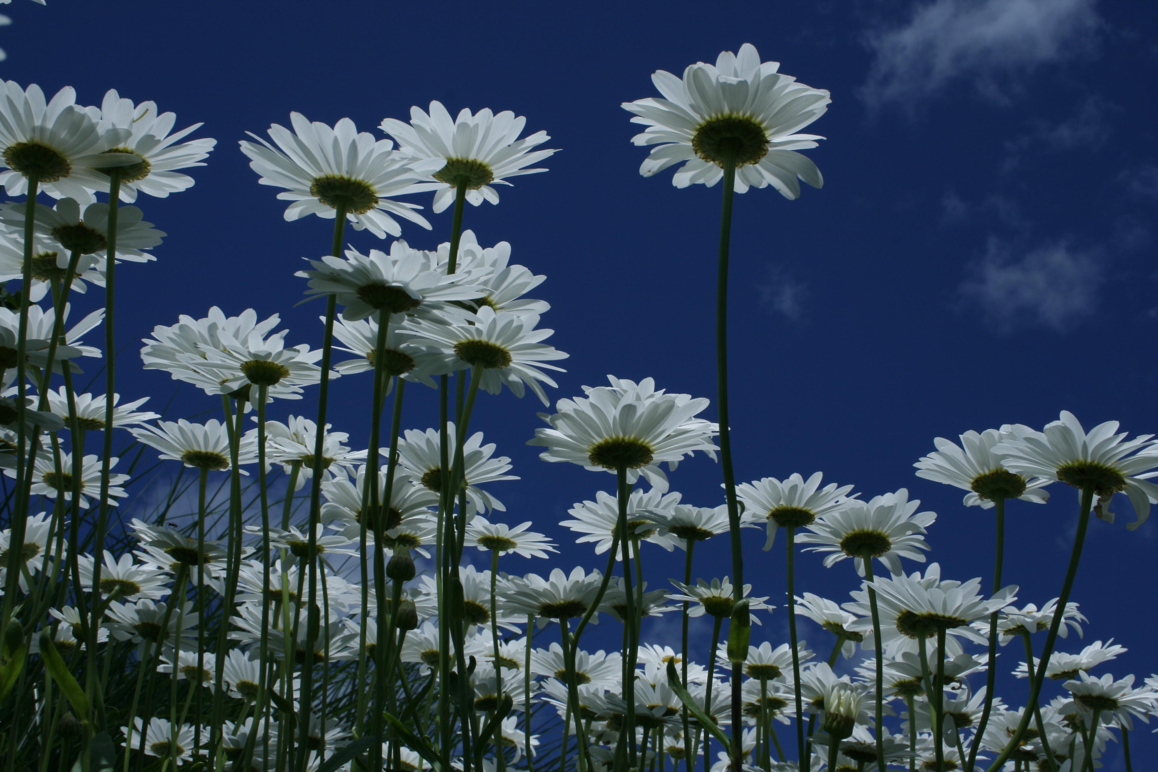 Dancing daisies 75 la arts dancing daisies 75 izmirmasajfo